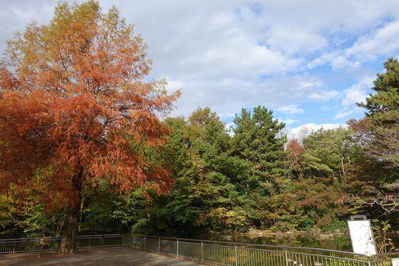 光が丘公園 ヒマラヤスギ 紅葉