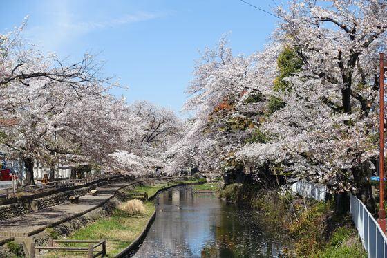 本庄市 桜