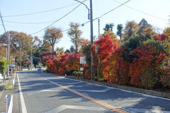 小林楓樹園 紅葉
