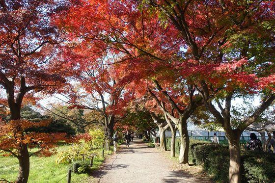 小石川植物園 カエデ並木