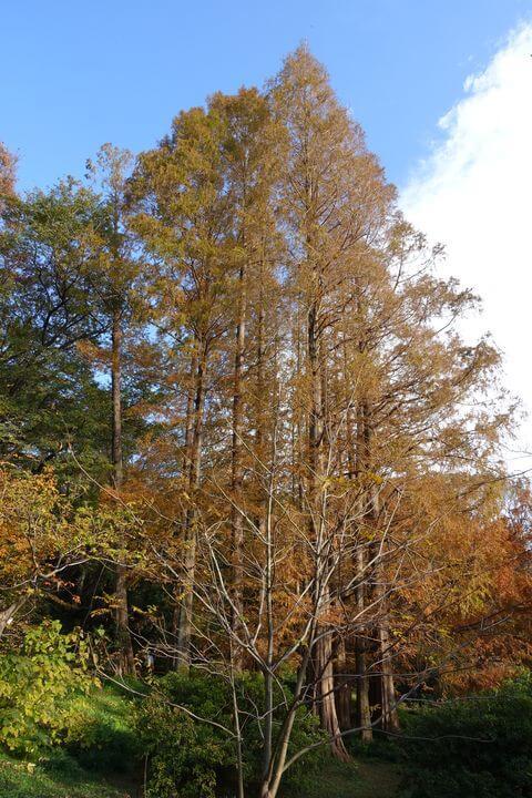 小石川植物園 メタセコイア