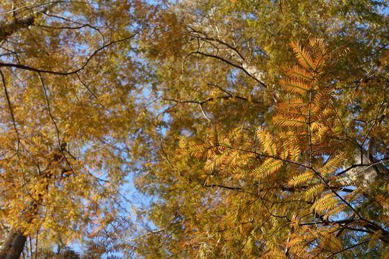 メタセコイア 小石川植物園