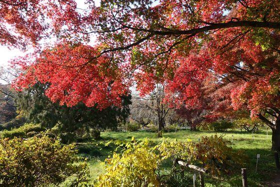 小石川植物園 カエデ
