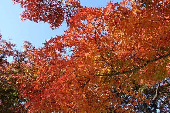 小石川植物園 紅葉 現在