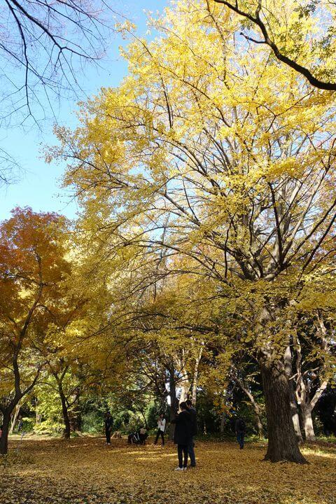 小石川植物園 イチョウ