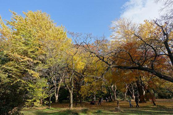 小石川植物園 銀杏