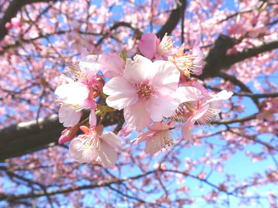 三浦海岸 河津桜 開花状況