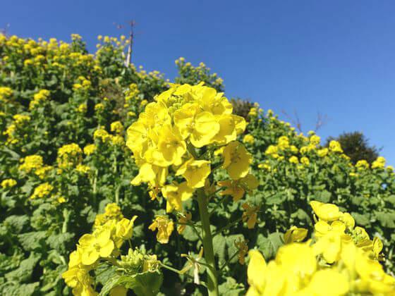 小松ヶ池公園 菜の花