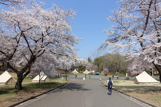 狭山市 桜