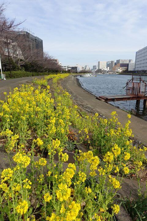 立会川駅 菜の花