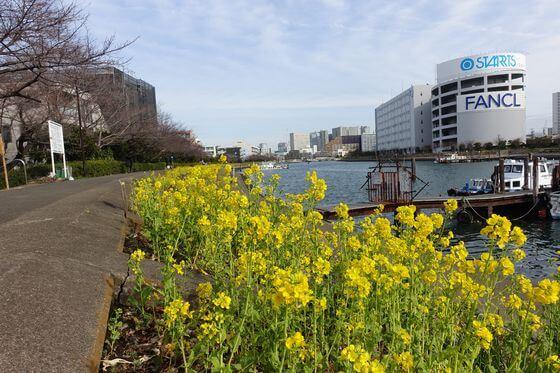 菜の花 しながわ花海道