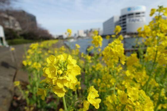 立会川 菜の花