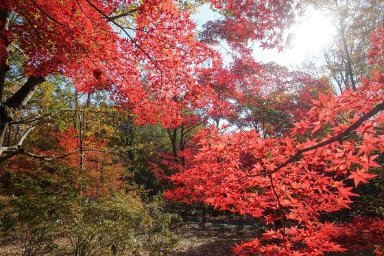 国営武蔵丘陵森林公園 紅葉 現在