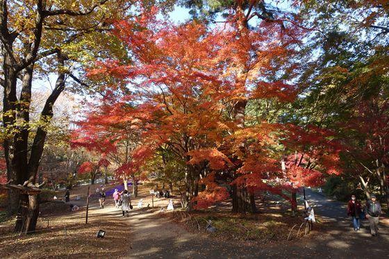 国営武蔵丘陵森林公園 紅葉