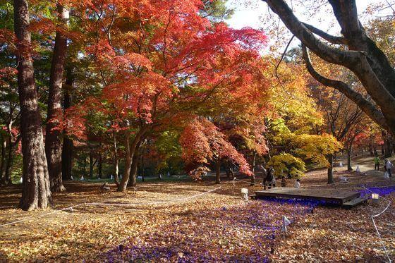 国営武蔵丘陵森林公園 紅葉 見頃