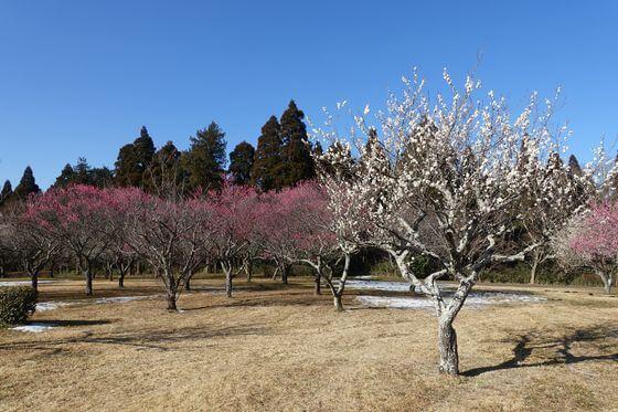 昭和の森 千葉 梅園