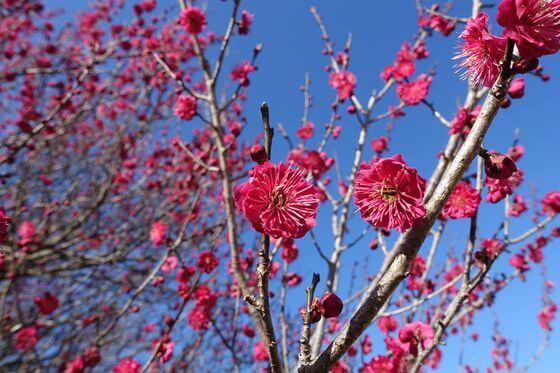 昭和の森 紅梅