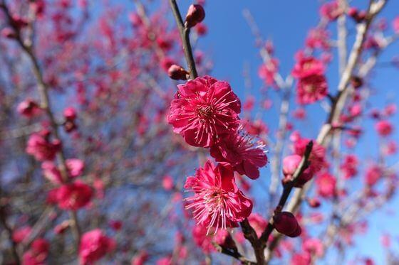 昭和の森 梅 開花状況