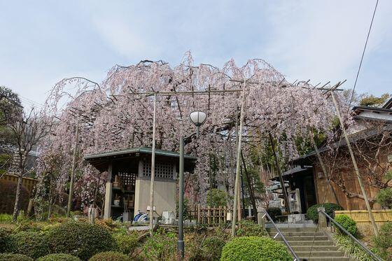 普門院 枝垂れ桜