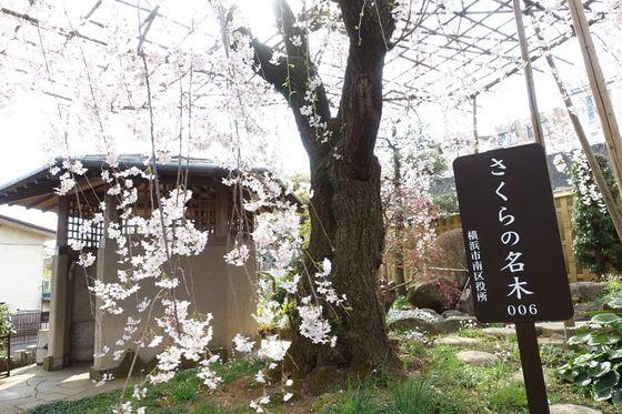 横浜市 桜の名木