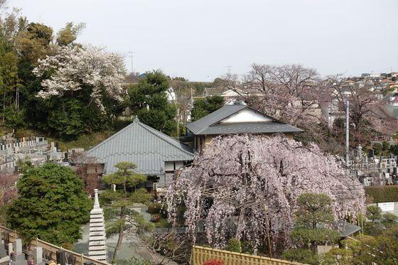 普門院 横浜 桜