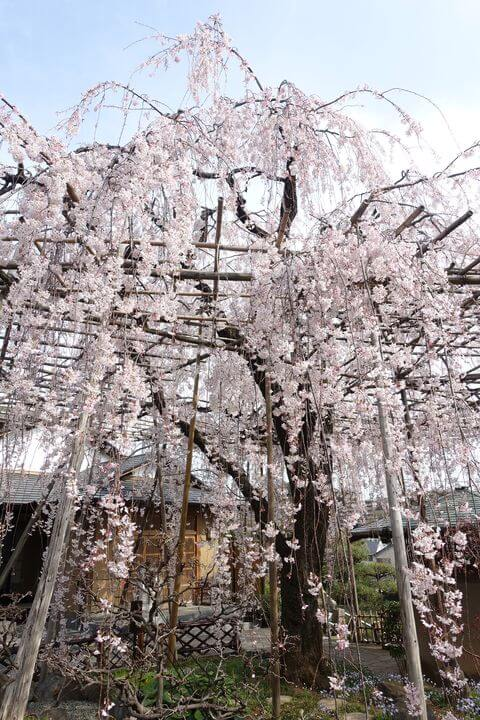 普門院 桜