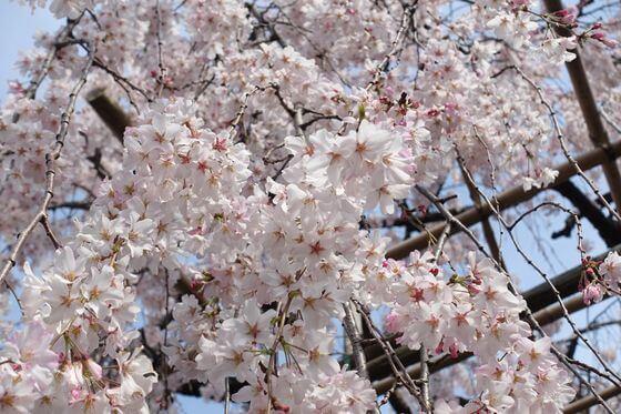 普門院 しだれ桜 開花状況