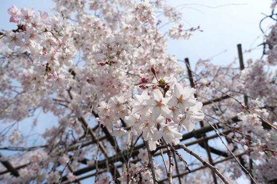 普門院 桜まつり