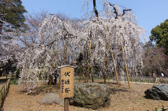 弘法寺 枝垂れ桜