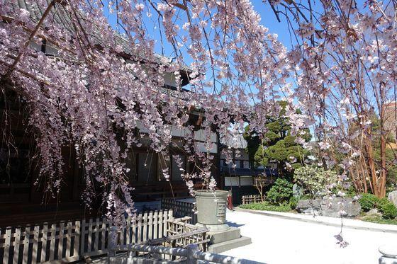 玉蔵院 浦和 桜