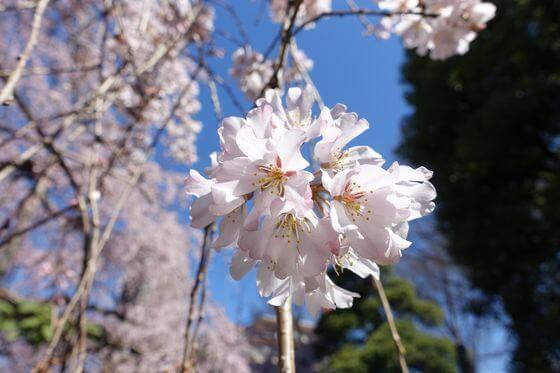 玉蔵院 しだれ桜 開花状況