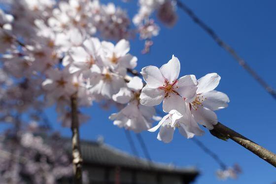 浦和 しだれ桜