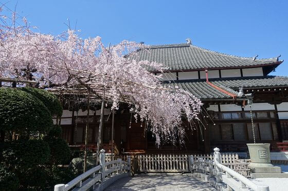 玉蔵院 桜
