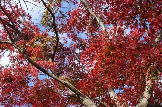 弘法山 紅葉 現在