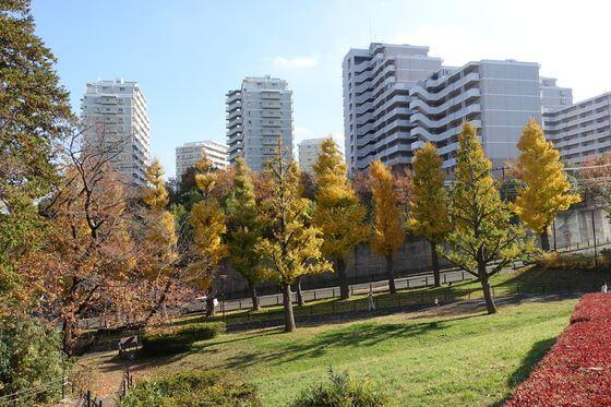 保土ヶ谷公園 銀杏