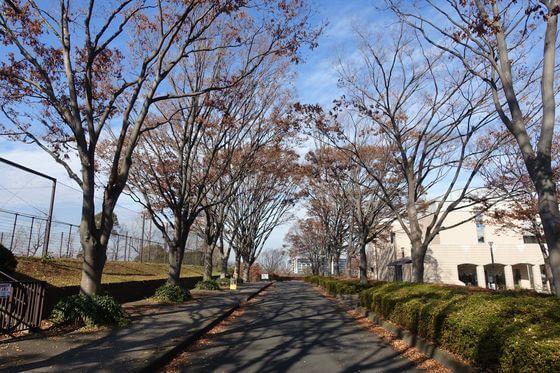 保土ヶ谷公園 ケヤキ並木 紅葉