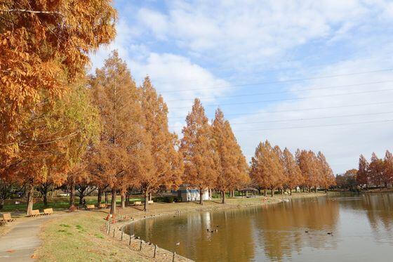 川越水上公園 メタセコイア
