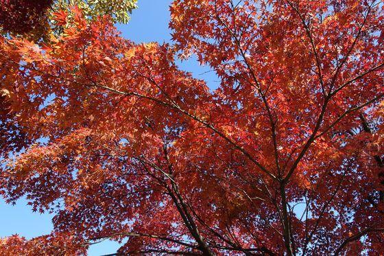 菊名池公園 紅葉 見頃