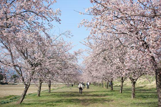 坂戸市 桜