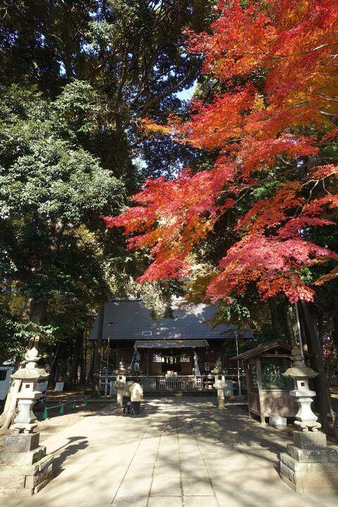三富富岡総鎮守神明社 モミジ