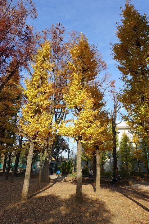 竹早公園 イチョウ