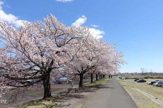 大正土手 桜
