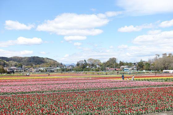 羽村チューリップ畑