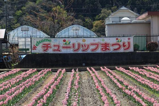 羽村 チューリップ祭り