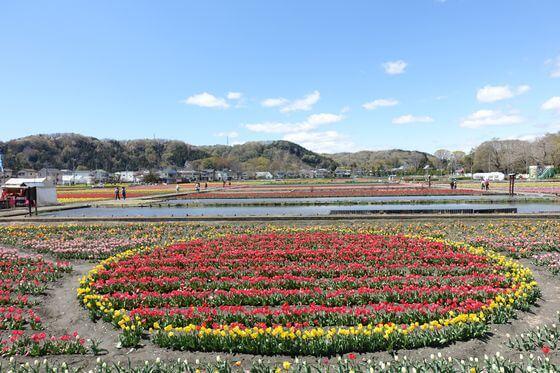 羽村 チューリップ畑