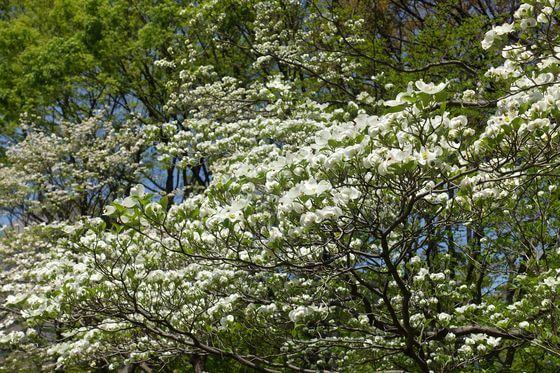 日比谷公園 花みずき