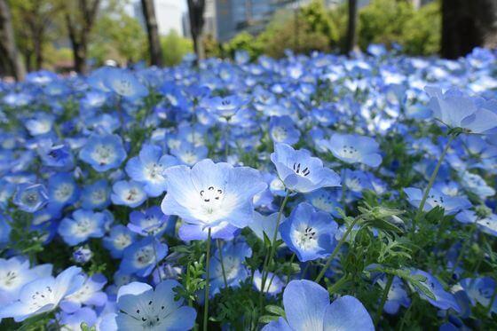 日比谷公園 ネモフィラ 開花状況