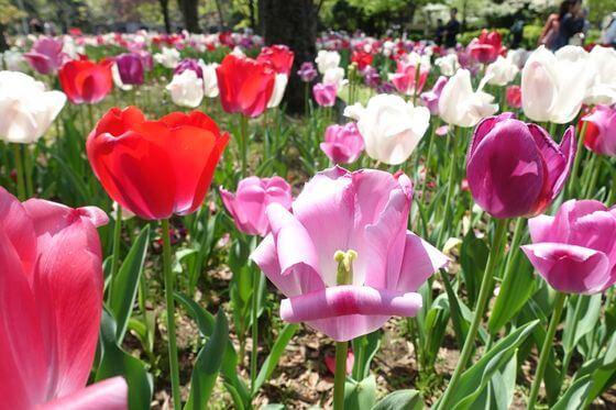 日比谷公園 チューリップ 開花状況