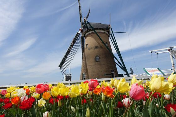 風車 チューリップ