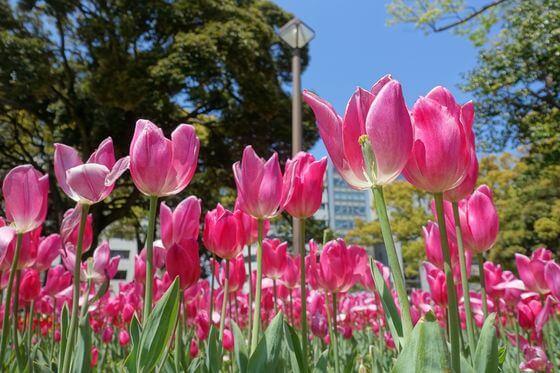 横浜公園 チューリップ 開花状況